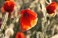 Poppies at the early sunlight (Xtraphoto) Tags: morgentau tau tautropfen rot red blume flower flowers mohnblume mohn morninglight morning morgenlicht poppy poppies