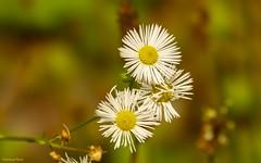 The Princesses (YᗩSᗰIᘉᗴ HᗴᘉS +7 000 000 thx❀) Tags: princess princesse flower nature flora macro hensyasmine