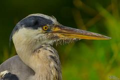 Close up Heron (Luke Hermans Photography) Tags: heron reiger den haag hague westbroekpark westbroek park scheveningen lake birds vogels meer aves closeup close up canon 1200d