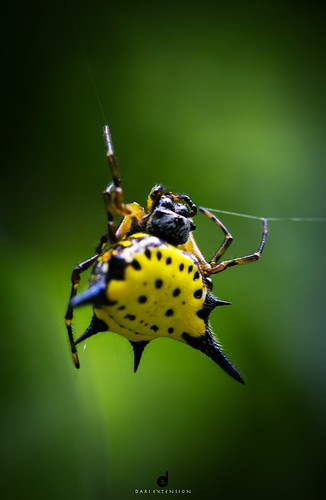 hasselt spiny spider