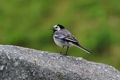 Bird (Hugo von Schreck) Tags: hugovonschreck bird vogel motacillaalba bachstelze canoneos5dsr yourbestoftoday greatphotographers