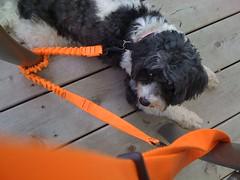 Small dog with entangled orange leash (Jeff Schubert) Tags: k9 smalldog chinesecrested powderpuff black white orange woodendeck trapped entangled shortleash apple iphone3g