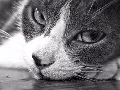 The Cat Look (LupaImages) Tags: face eyes cat feline fur whiskers animal pet family lucie