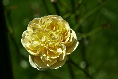 Frilly Flower (sofiainspace) Tags: flower soft nature bloom grow summer graden