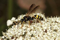 Hymenoptera sp. (Wasp) - Guernsey (Nick Dean1) Tags: hymenoptera wasp sawfly bee bumblebee animalia arthropoda arthropod hexapoda insect insecta macro canon canon7d guernsey channelislands greatbritain