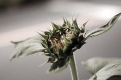 IMGP1832a (Penimaru) Tags: snapshot street outdoor nightscene nature plant sunflower