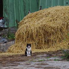 un jour à la ferme _ my home (FloLfp) Tags: chat cat farm ferme bretagne bzh breizh paille