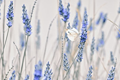 The hope of wings (PokemonaDeChroma) Tags: lavender butterflies quote hope wings elegance grace