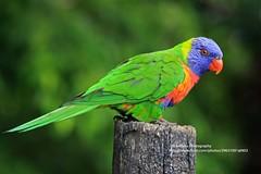 Coffs Harbour, Parrot (blauepics) Tags: australia australien coff harbour city stadt nature animal tier bird vogel papagei parrot green grün colourful farbig wild