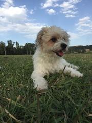 Icey to the lake 😂🐾🐾❤️ (ilirjacellari) Tags: ilovemydog mydog littledog