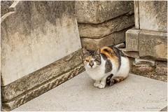 One-eyed cat (Carlos SGP) Tags: gato cat madrid felino felinos animales animals animal chat 貓 cementerio sacramental oneeyedcat gatoscallejeros