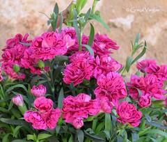 🌺🌺🌺🌺🌺 (✿ Graça Vargas ✿) Tags: flower graçavargas ©2017graçavargasallrightsreserved chania creta greece cravo carnation 17808230717