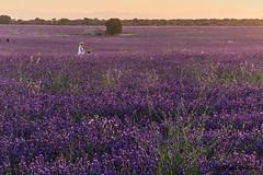 purpura. (nuri_bri) Tags: lavanda camposdecastilla alcarria brihuega guadalajara púrpura es espanya campsdelavanda