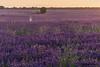 Entre lavandes (nuri_bri) Tags: lavanda camposdecastilla alcarria brihuega guadalajara púrpura es espanya campsdelavanda agricultura castillalamancha atardecer sunset postadesol