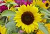 Sunflower against pink (Read2me) Tags: tcfe nature flower yellow dof sunflower challengeyouwinner pink pregamewinner challengeclubwinner gamesweepwinner