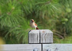 Female cardinal with a grasshopper (adirondack_native) Tags: female cardinal bird grasshopper eating