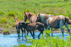 07082017-277-1 (bjf41) Tags: chincoteague horses wild herd colts