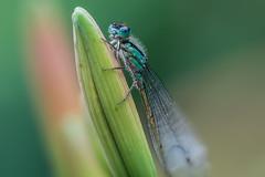 ...Federlibelle... (rhonz.photo) Tags: makrofotografie makro stack stacking natur wildlife libelle libellenfotografie helicon focus tamron 90mm canon m5