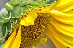 Sun Bonnet Sue (Lana Pahl / Country Star Photography) Tags: flowersmacroworld macroflowers macrobeauty