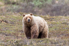 Do not hug the bears, regardless of fluffiness (frostnip907) Tags: wildlife nature alaska bear grizzly brownbear bears brownbears grizzlies grizzlybear grizzlybears denali denalinationalpark denalinationalparkandpreserve landscape tundra