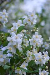 July's promise (jmschrei) Tags: blossoms bokeh floral foliage k5 mockorange nature pentax tamron9028