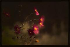 Wilde flora (maartenappel) Tags: bloemen natuur canon kleuren wildeflora