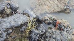 Living rocky shores of Changi Creek (wildsingapore) Tags: changi creek safchalets rocky island shores singapore marine coastal intertidal shore seashore marinelife nature wildlife underwater wildsingapore