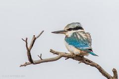 Red-backed Kingfisher (chrissteeles) Tags: redbackedkingfisher kingfisher bird birding farinacreek farina southaustralia sa