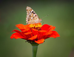 Vanessa cardui (uhx72) Tags: distelfalter butterfly animal insect nature flower