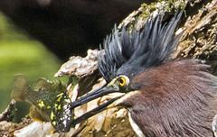 Green Heron. Butorides virescens (rumerbob) Tags: greenheron heron waterbird bird birdwatching birdwatcher peacevalleypark lakegalena wildlife nature naturewatcher canon7dmarkii canon100400mmlens
