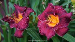 DSC00580 (Aldona Induła) Tags: bezedycji daylily drops flower garden hemmerocallis kroplewody kwiat liliowiec notedited ogród prostozaparatu stormofthecentury straightfromthecamera two waterdroplets