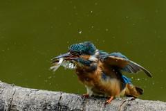Shake it! (t_neuber) Tags: alcedoatthis eisvogel lasauge swiss switzerland natur wildlife wild kingfisher
