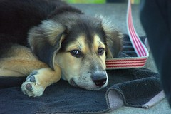 Puppy Dog Eyes (swong95765) Tags: dog puppy canine animal pet cute eyes adorable lovable