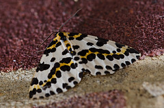 magpie moth 29/52 (sure2talk) Tags: magpiemoth abraxasgrossulariata moth nikond7000 nikkor85mmf35gafsedvrmicro flash speedlight sb900 diffused softbox offcamera 52weeksfornotdogs 2952