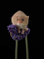 Lavender mouse take 3