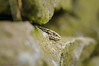 Common Lizard 3 16.07.17 (mido2k2) Tags: viviparus lizard bbc springwatch bbcspringwatch nikon sigma d300 105mm nature natural peak district photography wild wildlife countryfile countryside rural common reptile scales wall summer f28 macro close closeup eye detail explore flickr trending happy green popular beautiful animal