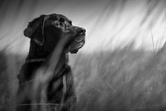 Lost. (Marcus Legg) Tags: marcuslegg canon eos 1dx beach monochrome blackandwhite max black labrador lab retriever dog pet atmospheric pets petportrait grass moody handsome alert dogs animal coast outdoors bokeh fur drama