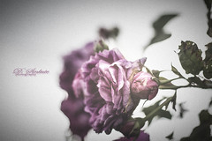 wild life ❤️ (D.Sinkute) Tags: rose wild flower nature gamta naturephotography canon 50mm summer purple noise norway