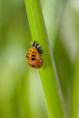 A ladybug cocoon in foxtails (Yunhyok Choi) Tags: grass macro foxtail insect closeup ladybird ladybug cocoon hwaseongsi gyeonggido southkorea