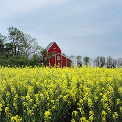 Rapeseed – Kodak Porta 100T exp* (magnus.joensson) Tags: sweden swedish skåne spring rapeseed vellinge blossom rolleicord v kodak porta 100t c41 6x6 medium format