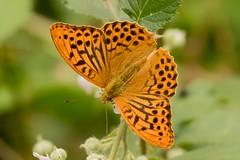 Silver-washed Fritillary Male (Martin F Hughes) Tags: silver washed fritillary butterfly devon dartmoor martin hughes canon 7d wildlife