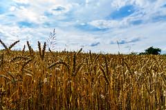 Wheat (Bom-he) Tags: saarland landschaft wheat weizen feld field germany deutschland sky himmel clouds wolken landscape nature natur sun sunshine sonne sonnenschein