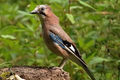 Eurasion Jay (david.england18) Tags: euroasionjay jay smallbirds various tits blue great coal butterflies localpark queensparkheywood canon7d canonef300mmf4lisusm birdsuk