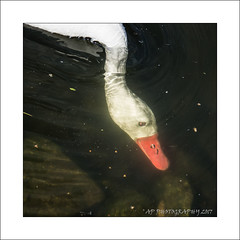 Underwater (prendergasttony) Tags: coscoroba swan water outdoors reflection nikon d7200 mm park counrtyside digital beak framing lancashire freshwater martinmere wetland frame border closeup wildlife male waterproof feathers birding britain uk colourful sunlight avian bird rspb nature elements ƒ45 720 12000 iso400 underwater submerged bubbles
