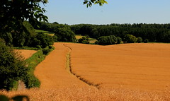 Fields Of Gold (acwills2014) Tags: gold harvest fieldsofgold rapeseed rural countrtside gwent wales
