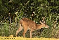 Whitetail (Lindell Dillon) Tags: deer whitetail buck velvet wildlife nature oklahoma lindelldillon