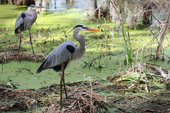 At Home In The Colony (Robert F. Carter Travels) Tags: birds herons heron greatblueheron swamp wetland marsh swamps wetlands marshes cbbr circlebbarreserve florida lakeland ardeaherodias