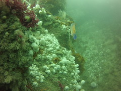 Flat Ledge (Rob Dickson) Tags: scuba scilly scillies islesofscilly