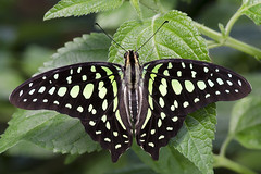 Tailed jay / Vlinder / Graphium agamemnon (Greeney5) Tags: tailedjay vlinder graphiumagamemnon graphium lepidoptera butterfly insecten insects insect papilionidae macro greenspottedtriangle greentriangle tailedgreenjay vlindertuin vlindertuinkleincostarica kleincostarica neonsegelfalter