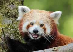 red panda Ouwehands BB2A6716 (j.a.kok) Tags: panda redpanda rodepanda kleinepanda azie asia animal mammal china zoogdier dier ouwehands